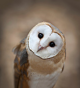 A closeup portrait of a 3 month old Barn Owl (Tyto alba) looking cute for the camera.