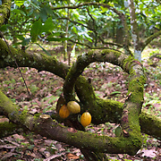 Cacaoyers bicentenaires dans une des cabruca des Badaros/Cacao-trees bicentenaries in one of the cabruca of Badaros family.