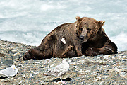A large adult grizzly bear rests while fishing for chum salmon in the upper McNeil River falls at the McNeil River State Game Sanctuary on the Kenai Peninsula, Alaska. The remote site is accessed only with a special permit and is the world's largest seasonal population of brown bears.