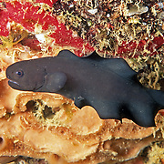 Black Brotula are reclusive; inhabit deep crevices, recesses and caves in reefs in Tropical West Atlantic, primairly in southern Caribbean; picture taken St Vincent.