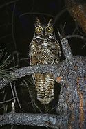 Great-horned owl perched in ponderosa pine tree at night, fully alert. © 1983 David A. Ponton