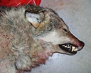 ulv, hann, en av de åtte ulvene som utgjorde Atndalsflokken, ca. 40 kg. Felt 17. mars 2001. Atnadalsflokken ble skutt ut i sin helhet våret 2001. Her undersøkes skrottene ved Direktoratet for naturforvaltning/Norsk institutt for naturforskning i Trondheim.