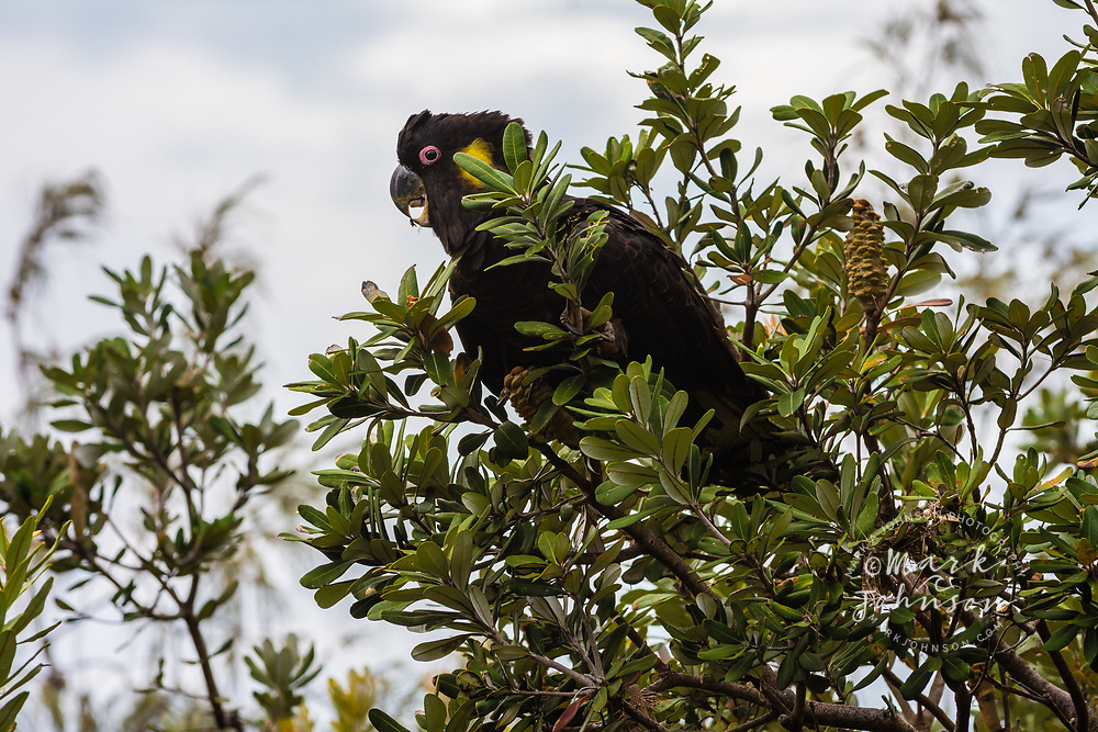 Yellow-Tailed Black Cockatoo (Calyptorhynchus funereus) feeding in a banksia tree