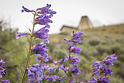 Rare lemhi penstemon (Penstemon lemhiensis)  flowers at Big Hole National Battlefield, Montana. The visitor center is visible in the background. The plant is considered at risk for extinction by the Montana Natural Heritage Program and It is a category 2 candidate for federal listing as threatened.