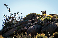 Patagonia, Chile, February 2016. A Puma overlooks the valley from it's perch high on a rock. Torres del Paine is a UNESCO World Biosphere Reserve and encompasses mountains, glaciers, lakes, and rivers in southern Chilean Patagonia. The Cordillera del Paine is the centerpiece of the park. It lies in a transition area between the Magellanic subpolar forests and the Patagonian Steppes. A 4x4 camper is one of the best vehicles to explore the wild interior of Southern Patagonia. Photo by Frits Meyst / MeystPhoto.com