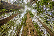 Redwood trees in Simpson-Reed Grove, Jedediah Smith State Park, California.
