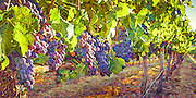 Ripe wine grapes ready for harvest in vineyard in Napa Valley, CA
