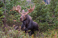 Bull Moose (Alces alces) coming out of the forest