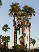palm trees in early morning sunlight