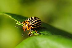 Kevers, Beetles