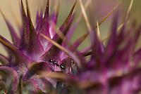 Ants (Formicidae) on Cynara humilis, Southwest Alentejo and Vicentine Coast Natural Park, Portugal