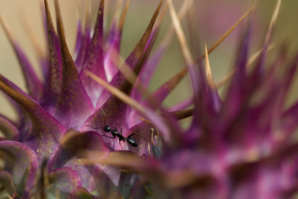Ants (Formicidae) on Cynara humilis, Southwest Alentejo and Vicentine Coast Natural Park, Portugal