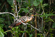 The Hoatzin (Ophisthocomus hoazin) aka the 'Stinky Turkey' to Amazon natives because of the bad odors from fermentation of leaves in the bird's crop.