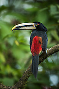 Pale-mandibled Aracari (Pteroglossus erythropygius)<br /> Western slopes of Andes<br /> ECUADOR.  South America<br /> Habitat & Range: Subtropical and tropical forests Ecuador and Peru