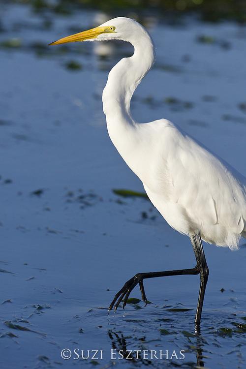 Great Egret<br /> Ardea alba <br /> Monterey Bay, CA