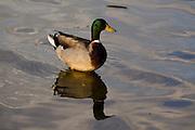 Sao Paulo_SP, Brasil...Marreco (Anas querquedula) no lago do Parque do Ibirapuera...A mallard (Anas querquedula) in a lake of Ibirapuera Park...Foto: MARCUS DESIMONI / NITRO