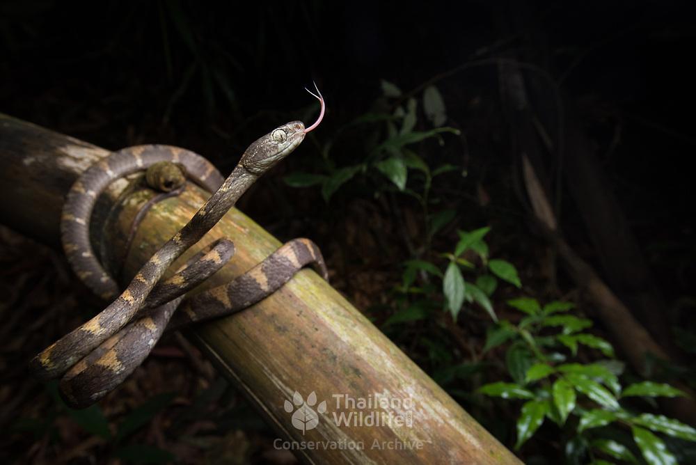 White-spotted Cat Snake (Boiga drapiezii) in Kaeng Krachan national park, Thailand