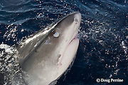 tiger shark, Galeocerdo cuvier, lunging for bait, showing nictitating membrane, which covers eye to protect it, North Shore, Oahu, Hawaii, USA ( Central Pacific Ocean )