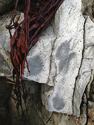 Rock Face and Seaweed Detail, Castine, Maine, US