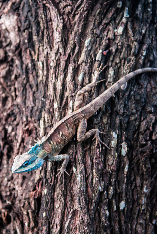 A blue headed lizard on a tree, Pai, Thailand