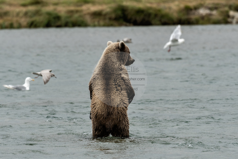 A brown bear yearling cub stands up on two legs as it learns to fish for salmon at the McNeil River State Game Sanctuary on the Kenai Peninsula, Alaska. The remote site is accessed only with a special permit and is the world's largest seasonal population of brown bears in their natural environment.