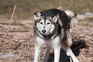 My dog Sierra shaking off after rolling around in the cattails I cut down on our frozen pond in February, 2013