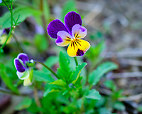 Johnny Jump Up flower.  Image taken with a Fuji X-H1 camera and 200 mm f/2 lens + 1.4x teleconverter (ISO 1000, 280 mm, f/4, 1/420 sec)