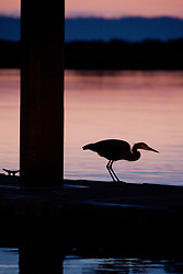 North America, United States, Washington, Everett, great blue heron (Ardea herodias)  on dock during sunset, 10th Street Marina Park at the Port of Everett