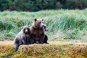 A mom and her two yearling cubs rests at the rivers edge while watching for salmon to hunt.