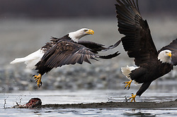 A bald eagle (Haliaeetus leucocephalus) chases off a bald eagle from the salmon it was eating on the banks of the Chilkat River in the Alaska Chilkat Bald Eagle Preserve near Haines, Alaska. During late fall, bald eagles congregate along the Chilkat River to feed on salmon. This gathering of bald eagles in the Alaska Chilkat Bald Eagle Preserve is believed to be one of the largest gatherings of bald eagles in the world.