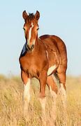 Colt Wild Horse (Equus ferus), Western US