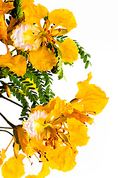 Yellow Poinciana#23