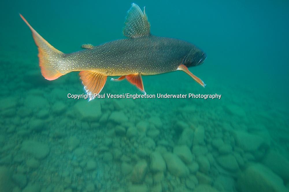Lake Trout<br /> <br /> PAUL VECSEI/ENGBRETSON UNDERWATER PHOTO