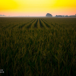 Fields of corn at sunrise