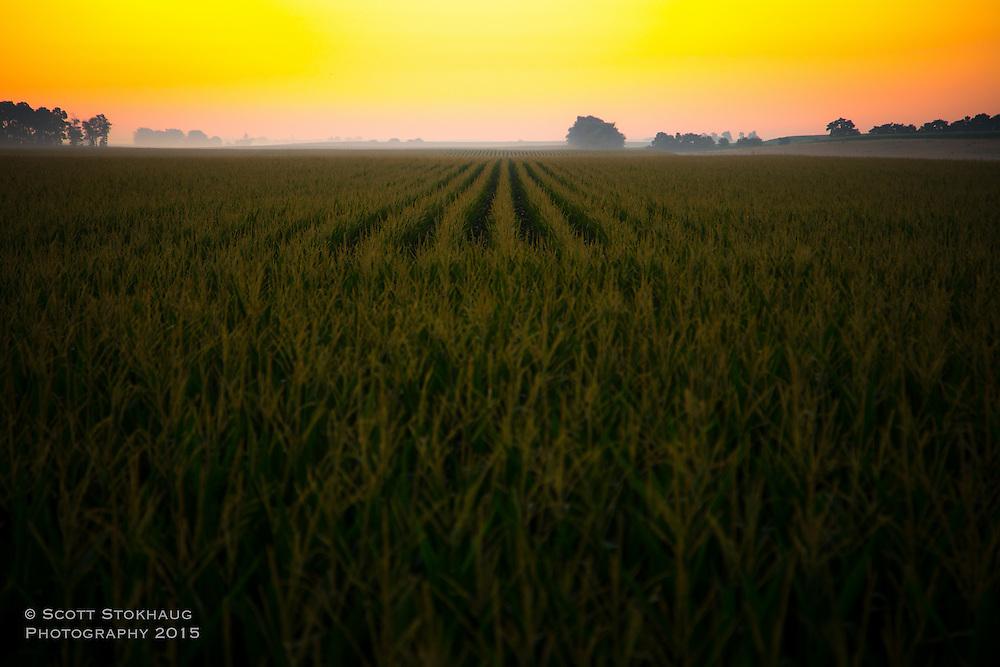 Fields of corn at sunrise