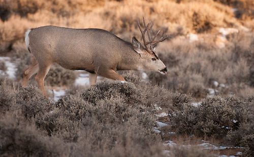 large mule deer buck with neck out stretched as he approaches his harem of does