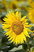 Sunflower head, tournesol, near Chatelleraut, Loire Valley, France