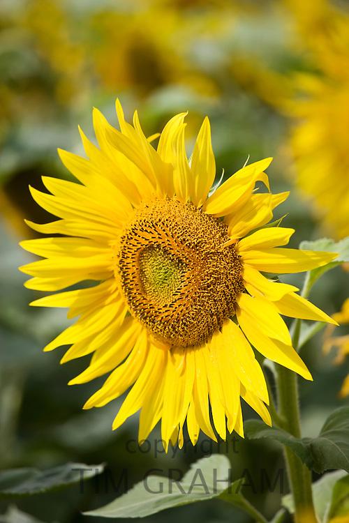 Sunflower head, tournesol, near Chatelleraut, Loire Valley, France