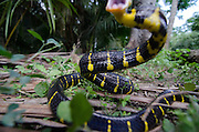 Mangrove snake attacks camera. Thailand. 2011 (Boiga dendrophila)