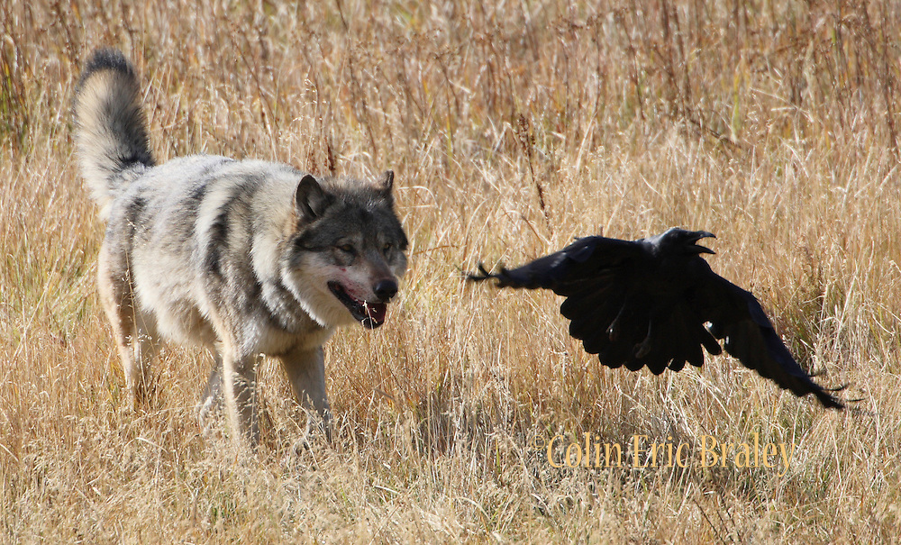 A wolf chases birds away from a kill in Yellowstone National Park in Wyoming. Colin Braley