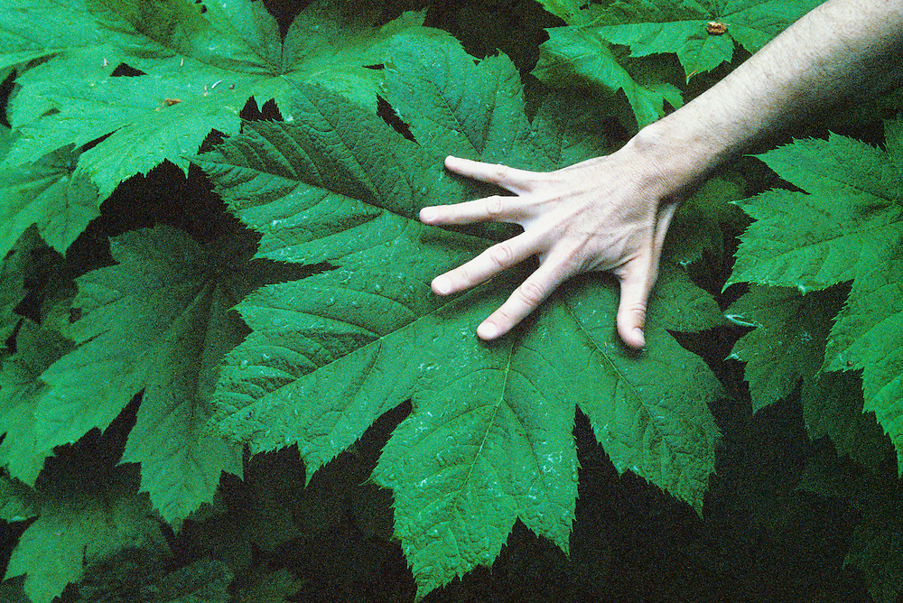 A hand held over a large leaf in Girdwood, Alaska to show the size of the leaf.