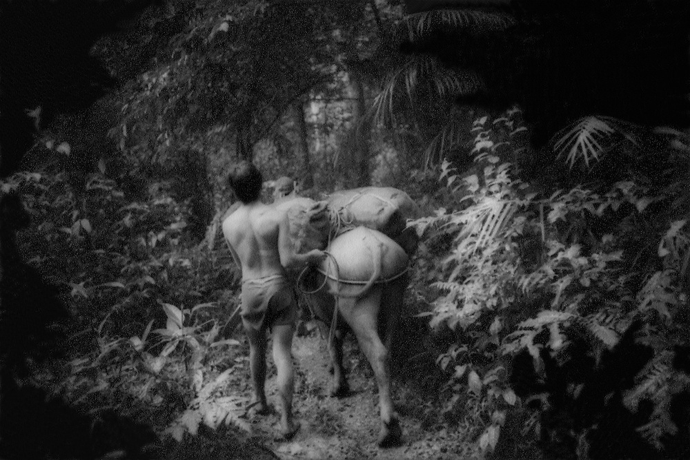 Young Filipino man leads carabao (water buffalo) through the rainforest, Luzon, Philippines.