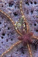 A bumble bee shrimp feeding on a brittle star, Kapalai, Sabah, Malaysia.