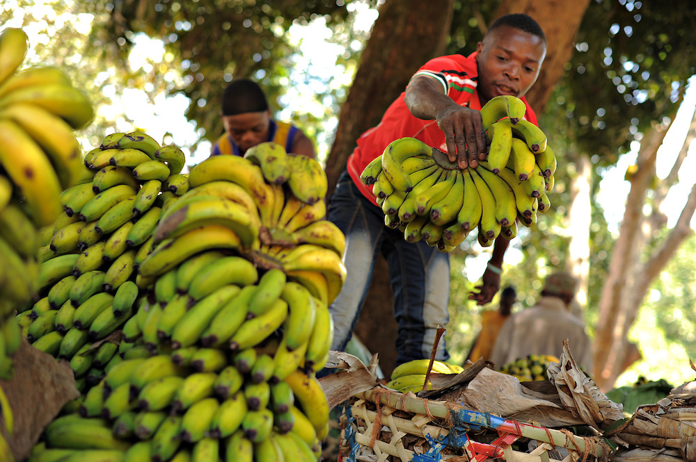 "KIROKA, TANZANIA -  13-10-30  - A man who identified himself as Bo Mba prepares freshly harvested bananas for transport in Kiroka on October 30. An FAO project to strengthen capacity of farms for climate change is underway in Kiroka, Tanzania. ""It's something we may call climate-smart agriculture,"" says mission project co-ordinator Prof. Henry Mahoo, who teaches at the Sokoine University of Agriculture. The project aims to improve land and water management, promote climate resilient agriculture and encourage dialogue and understanding regarding climate change adaptation practices.   Photo by Daniel Hayduk"