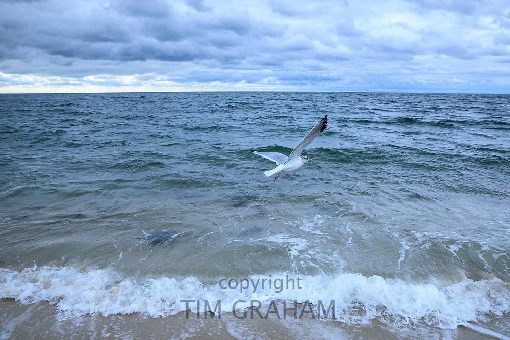 Seagull soaring as it flies over Nantucket Sound, Atlantic Ocean, at Harding Shores, Cape Cod, New England, USA