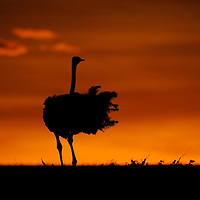 Ostrich displaying at sunset, Masai Mara, Kenya