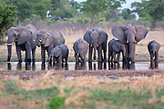 A famliy group breeding herd of elephants, drinking at a waterhole just after sunset.  Linyanti Wildlife Reserve, Botswana, 2008.