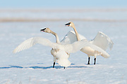 Tundra Swans; Cygnus columbianus, male and female, courtship display, Yukon Delta NWR, Alaska