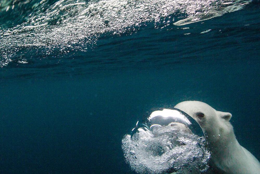 Canada, Nunavut Territory, Repulse Bay,Underwater view of Polar Bear (Ursus maritimus) blowing bubble while diving near Vansittart Island near Arctic Circle