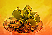 Digitally enhanced image of a potted Adromischus cristatus